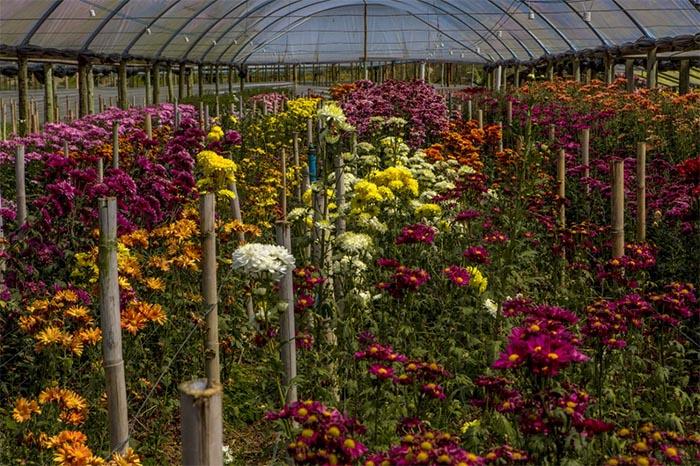 Estado oferece crédito para quem pretende alavancar produção de flores nesta primavera